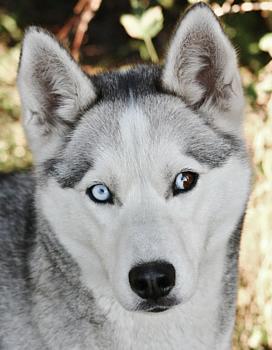 """Uskomaton lumi-Pullervo! Sonjan koiraa ei voi katsoa nauramatta: """"Se tunne, kun et tiedä omistatko saimaannorpan vai siperianhuskyn"""""""